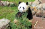 動物好きなら!「アドベンチャーワールド」、パンダが至近距離に!【和歌山県】
