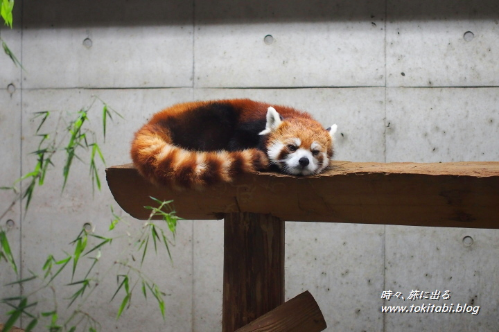 こども動物自然公園 レッサーパンダ