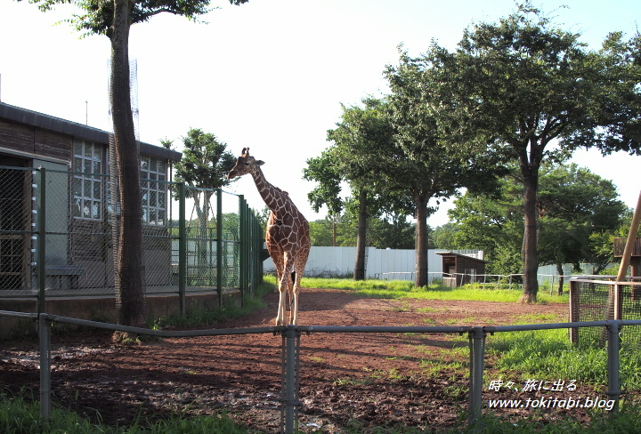 こども動物自然公園 キリン
