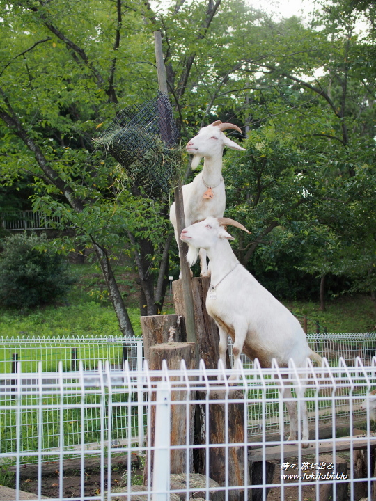 こども動物自然公園 ヤギ