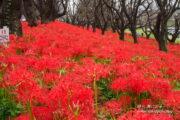 幸手「権現堂公園」、曼珠沙華の幻想的な景色を楽しもう!【埼玉県】