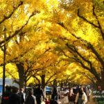 神宮外苑「イチョウ並木」から赤坂御用地まで、東京の秋を歩こう!
