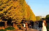 「昭和記念公園」のイチョウ並木は、紅葉の名所100選の一つ!【東京都立川市】