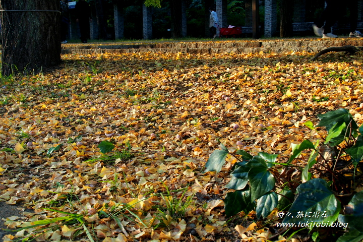 国営昭和記念公園 イチョウの落葉