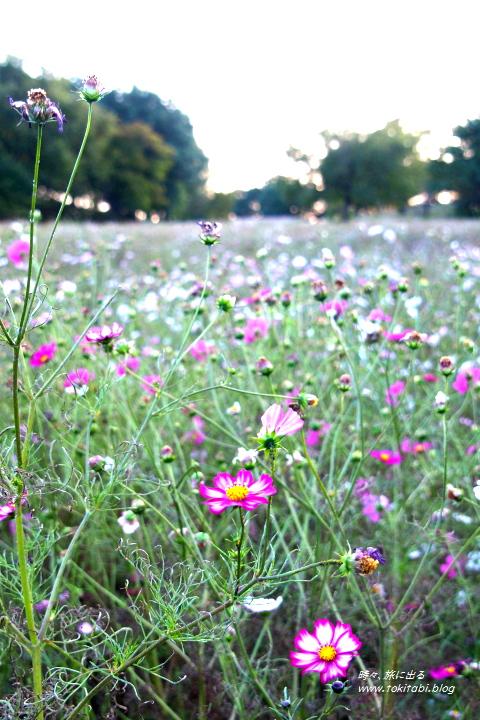 国営昭和記念公園 花の丘のコスモス