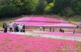 秩父「羊山公園」の芝桜は武甲山を背景に映え美しい!【埼玉県】