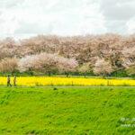 一度は見るべき!「幸手権現堂桜堤」の桜と菜の花の素晴らしい景観【埼玉県】