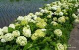 梅雨の季節を花で楽しく!加須市「あじさいロード」と玉敷公園散策【埼玉県】